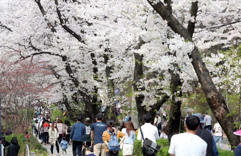 경기도청 벚꽃축제모습