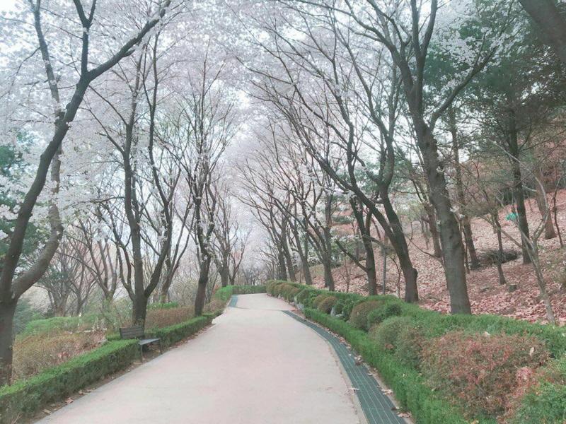 수진2동-벚꽃길 8경인 수진공원 진입로를 따라 들어가면 벌터산 축제 행사장이 나온다