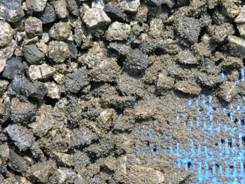 환경정책과-모래와 돌이 섞인 바닥에 산란한 배스 알