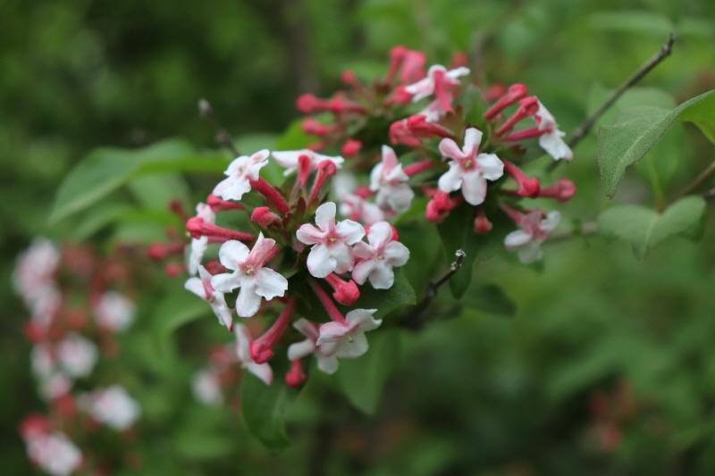신구대학교식물원의 보유 종인 인동과(Caprifoliaceae) 댕강나무(Abelia mosanensis T.H.Chung ex Nakai)